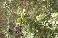 Atriplex canescens kz22.jpg