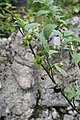 Atropa belladonna, Mont-d'Or - img 19261.jpg
