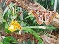 Attacus atlas-botanical-garden-of-bern 2.jpg