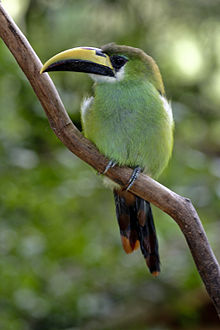 Aulacorhynchus prasinus -perching on branch-8a.jpg