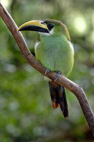 Green toucanet - Image: Aulacorhynchus prasinus perching on branch 8a