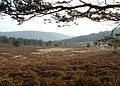 Auldenachie Pinewoods - geograph.org.uk - 1263887.jpg