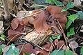 Auricularia auricula-judae 99677385.jpg