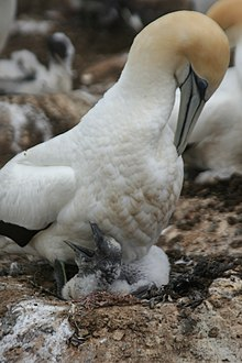 Large white seabird sheltering a sqawking chick on guano-stained ground