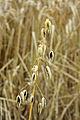 Avena sativa subsp. Nigra. (Zwarte haver) Locatie De Kruidhof 01.JPG