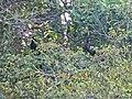 """Aves grandes en la estación Científica """"Las Joyas"""", Reserva de la Biósfera Sierra de Manantlán.jpg"""