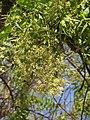 Azadirachta indica - Neem at Tenkasi 2014 (8).jpg