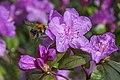 Azalea with Bumble Bee 1 (26286357281).jpg