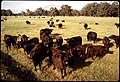 BLACK ANGUS CATTLE AT RANCH - NARA - 542626.jpg