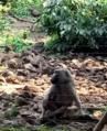 Baboon, Limbe.png