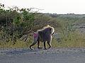 Babouins entre Afdera et Awash (1).jpg