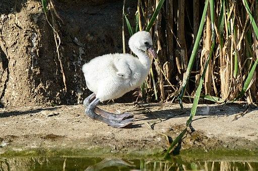 Baby Flamingo (7532380514)