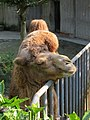 Bactrian Camel (31891508417).jpg