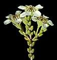 Baeckea sp. Bungalbin Hill - Flickr - Kevin Thiele.jpg