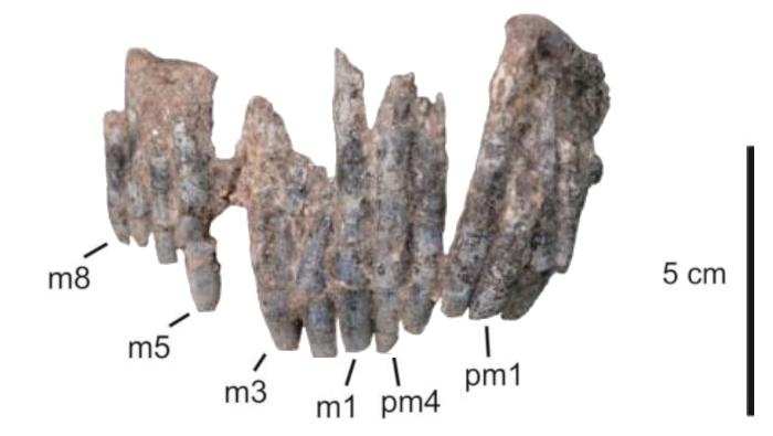 Bajadasaurus tooth row
