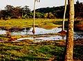 Bajura, Camuy, Puerto Rico - panoramio.jpg