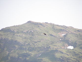Bald Eagle over Juneau, Alaska 2.jpg