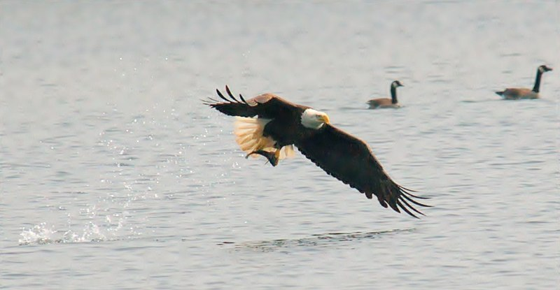File:Bald eagle fish.jpg