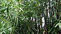 Bamboo trees view.jpg