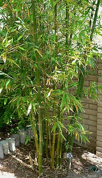 Bambusa oldhamii form