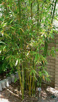 Bambus Chemie Schule