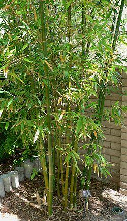definition of bambusa