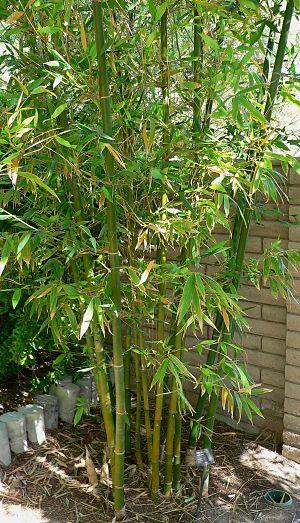 Bambusa - Bambusa oldhamii