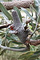 Banksia menziesii infructescence Gnangarra 2.jpg