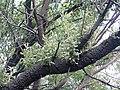Banksia serrata P5270217.jpg