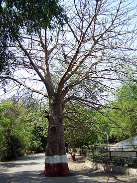 Baobab tree at Surat Zoo, Gujarat, India.jpg