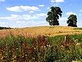 Barley Field near Curridge - geograph.org.uk - 35379.jpg