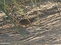 Barred Buttonquail (Turnix suscitator) (32689761188).jpg