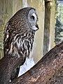 Bartkauz - Great Grey Owl (Strix nebulosa) - Weltvogelpark Walsrode 2012-005.jpg