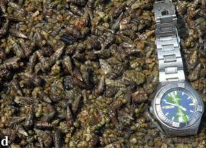 Batillaria zonalis - Aggregation of Batillaria zonalis and Clithon oualaniense in situ.
