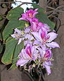 Bauhinia variegata-1.JPG