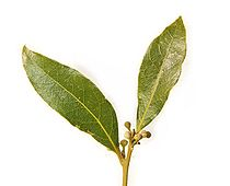 Bay leaf pair443.jpg