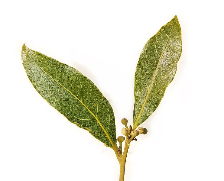 File:Bay leaf pair443.jpg