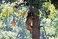 Bear climbing a tree in Libearty Bear Sanctuary (32147519364).jpg