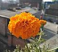 Beautiful marigold flower.jpg
