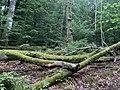Beech forest Molla, Sweden - 2021.jpg