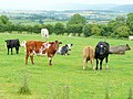 Beef cattle at St. Wulstan's Farm - geograph.org.uk - 1404207.jpg