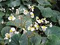 Begonia floccifera - JBM.jpg