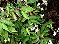 Begonia obscura.JPG