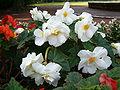 Begonia x tuberhybrida 1005White2.JPG