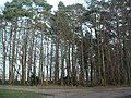 Belt of trees planted 1909 - geograph.org.uk - 329082.jpg