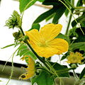 Benincasa hispida-IMG 4611.jpg