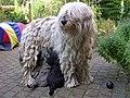Bergamasco-with-puppies.jpg