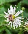 Berkheya purpurea in Botanischer Garten Muenster (2).jpg