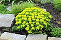 Berlin-Dahlem, botanischer Garten, Euphorbia amygdaloides.JPG