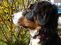 Bernese Mountain Dog in profile.JPG